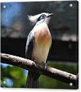 Blue Eyed Bird Acrylic Print