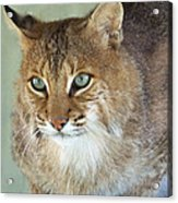 Blue Eyed Bobcat Acrylic Print by Jennifer  King