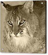 Blue Eyed Bobcat-sepia Acrylic Print