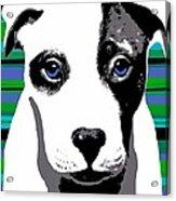 Blue Eyed Bully Acrylic Print