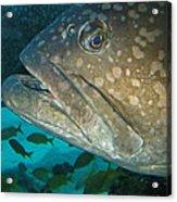 Blue-eyed Grouper Fish Acrylic Print