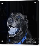 Blue Eyed Lab Smiling For The Camera Acrylic Print