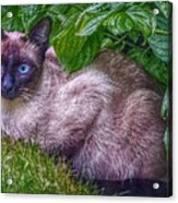 Blue Eyes Acrylic Print