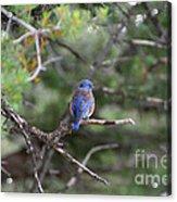 Blue Feathers Acrylic Print