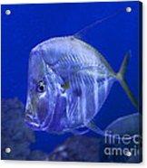 Blue Fish   #4990 Acrylic Print