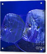 Blue Fish   #4991 Acrylic Print