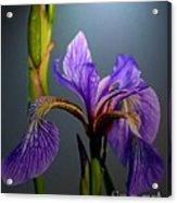 Blue Flag Iris Flower Acrylic Print