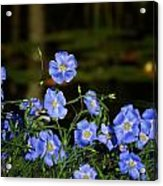 Blue Flax By The Pond Acrylic Print