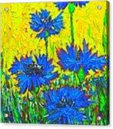 Blue Flowers - Wild Cornflowers In Sunlight  Acrylic Print