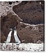 Blue Footed Boobies Displaying Acrylic Print