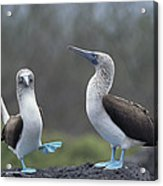 Blue-footed Booby Courtship Dance Acrylic Print