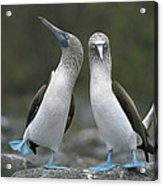 Blue Footed Booby Dancing Acrylic Print