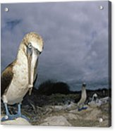 Blue-footed Booby Galapagos Islands Acrylic Print