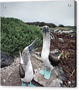 Blue-footed Booby Pair Courting Acrylic Print