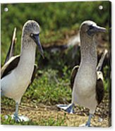 Blue-footed Booby Pair In Courtship Acrylic Print by Tui De Roy