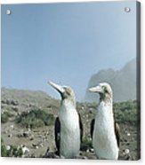 Blue-footed Booby Pair With Nesting Acrylic Print