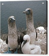 Blue-footed Booby Parents With Chick Acrylic Print