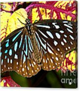 Blue Glassy Tiger Butterfly Acrylic Print