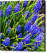 Blue Grape Hyacinth Acrylic Print