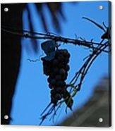 Blue Grapes Acrylic Print