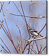 Blue-gray Gnatcatcher Acrylic Print