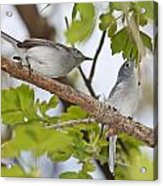 Blue-gray Gnatcatcher Acrylic Print