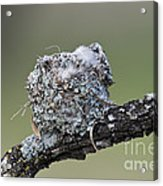 Blue-gray Gnatcatcher Nest Acrylic Print