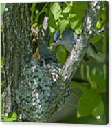 Blue-gray Gnatcatcher Nest Dsb261 Acrylic Print