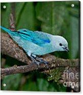 Blue-gray Tanager Acrylic Print