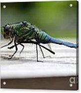 Blue Green Darter Acrylic Print