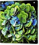 Blue Green Hydrangea Acrylic Print