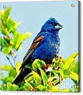 Blue Grosbeak On The Look Out Acrylic Print