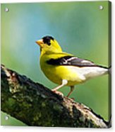 Blue Heart Goldfinch Acrylic Print