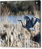 Blue Heron 1 Acrylic Print by Roger Snyder