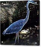 Blue Heron 8 Acrylic Print