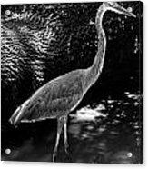 Blue Heron 8bw Acrylic Print