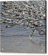 Blue Heron And Fish   #9619 Acrylic Print