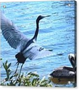 Blue Heron And Pelican Acrylic Print