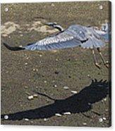Blue Heron And Shadow Acrylic Print