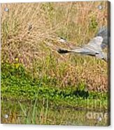 Blue Heron And The Black Bird Acrylic Print