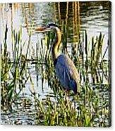 Blue Heron Backside Acrylic Print