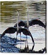Great Blue Heron Ballet Acrylic Print
