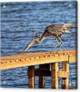 Blue Heron Dragonfly Lunch Acrylic Print