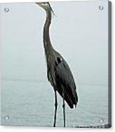 Blue Heron Fulton Harbor Tx Acrylic Print