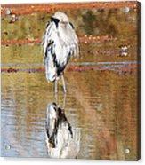Blue Heron Grooming Acrylic Print