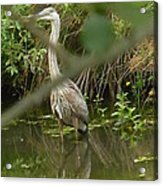 Blue Heron Hiding Reflection Acrylic Print