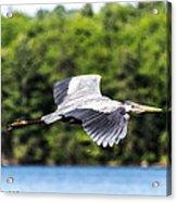Blue Heron In Flight II Acrylic Print