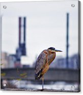 Blue Heron In Manayunk Acrylic Print