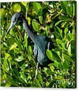 Blue Heron In Mangroves Acrylic Print