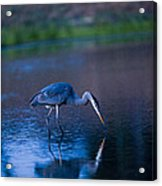 Blue Heron In Pond Acrylic Print